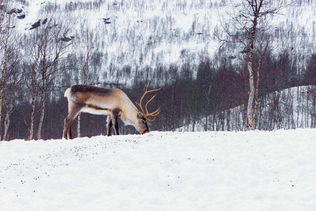 A Norwegian Reindeer in search of food