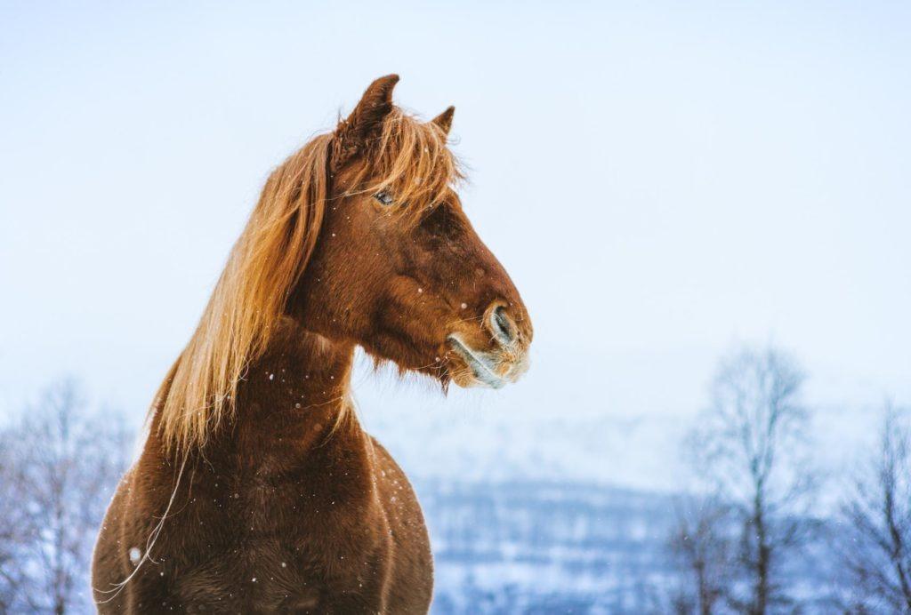 The Lyngen horse is a majestic beast.